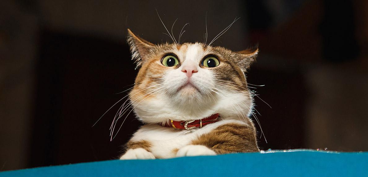 4 Alasan Mengapa Kucing Hilang Secara Tiba Tiba