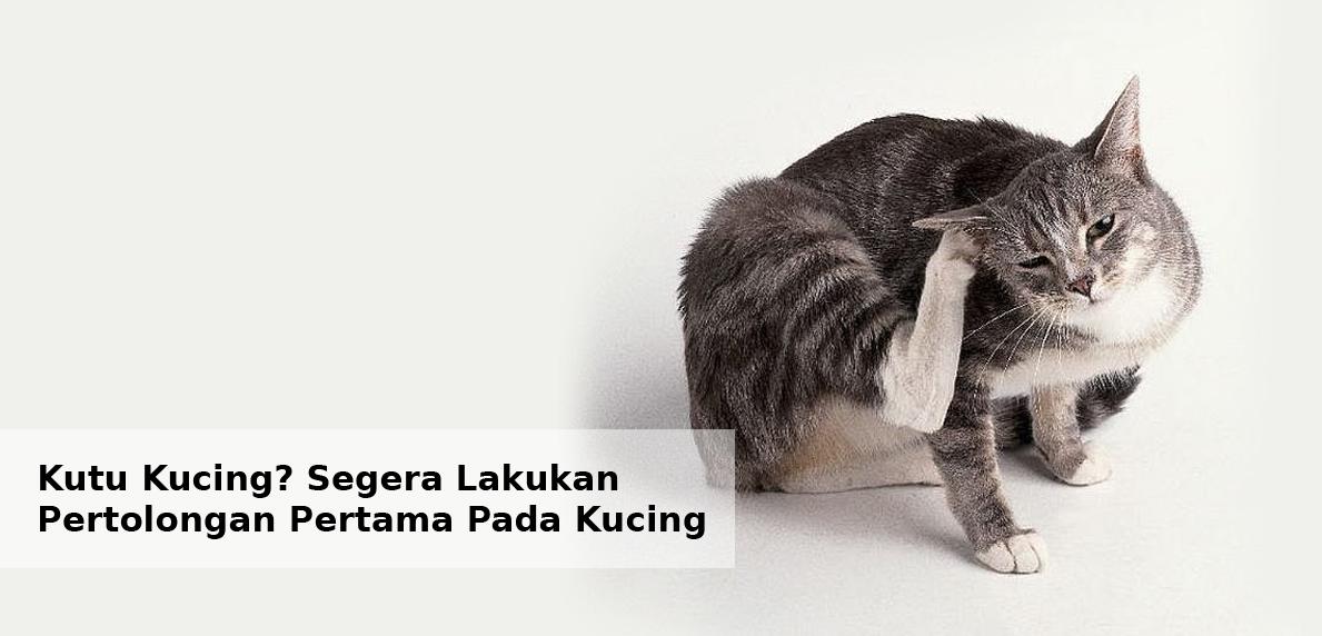 Kutu Kucing Segera Lakukan Pertolongan Pertama Pada Kucing