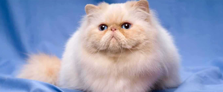 makanan untuk kucing persia